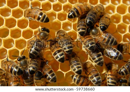 Bees on honeycomb eating honey - stock photo