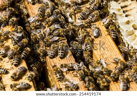 bees on honeycomb in a beehive. Honeybees are a genus of the family of the Real bees.  - stock photo