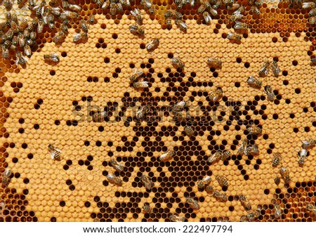Bees on honeycomb with capped brood - stock photo