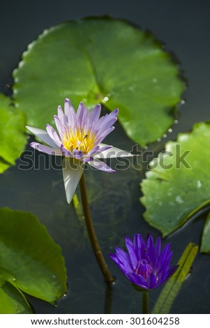 Bees pollinating in purple flowers against green water lilies