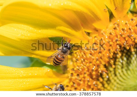 Bees store honey dew from sunflower,the morning time - stock photo