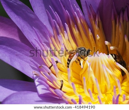 bees sucking nectar from pollen of lotus flower - stock photo