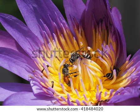bees sucking nectar from pollen of waterlily or lotus blossom - stock photo