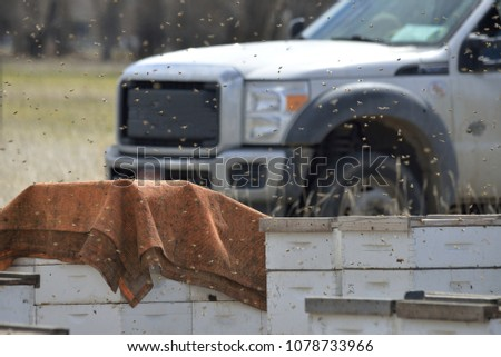 Bees swarm over hives, clouding the air in front of a worker's truck. Bee keepers  are separating the hives in to groups to fill orders for beekeeping customers