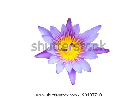 bees working at water lilly pollen on isolated white background - stock photo