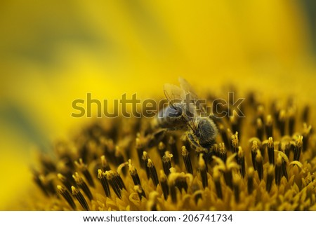 bees working in sunflower field