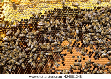 Bees working on honey cells. Close up macro.