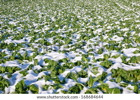 beet field covered with snow - stock photo