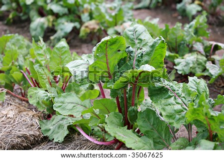 Beet Greens from rural garden.