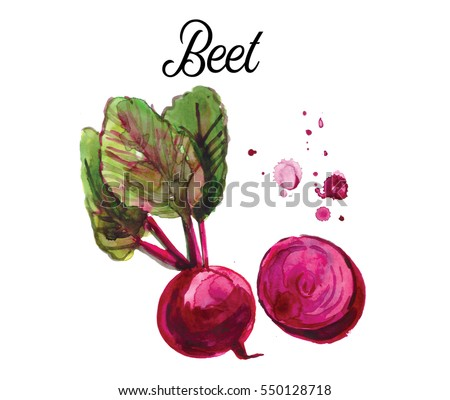 Beet, painted in watercoolor. hand drawn watercolor illustration of vegetable. Food
