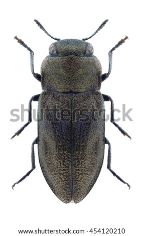 Beetle Anthaxia caucasica on a white background - stock photo