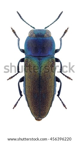 Beetle Anthaxia fulgidipennis on a white background - stock photo