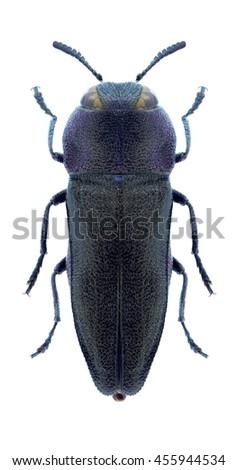 Beetle Anthaxia kiesenwetteri on a white background - stock photo