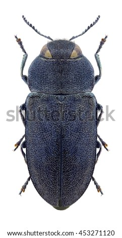 Beetle Anthaxia mysteriosa on a white background - stock photo