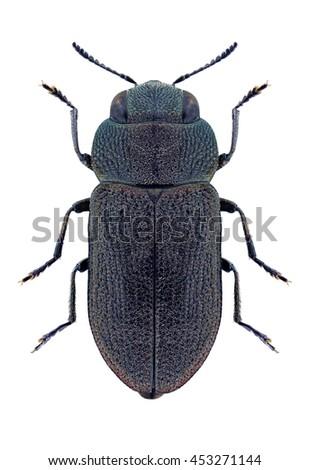 Beetle Anthaxia nigritula nigritula on a white background - stock photo