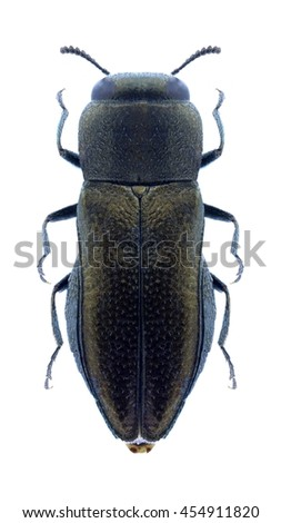Beetle Anthaxia parvula on a white background - stock photo