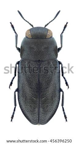 Beetle Anthaxia quadripunctata on a white background - stock photo