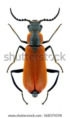Beetle Anthocomus rufus on a white background - stock photo