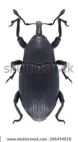 Beetle Baris artemisiae on a white background - stock photo