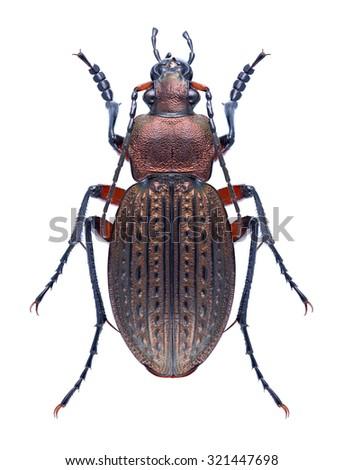 Beetle Carabus cancellatus on a white background - stock photo