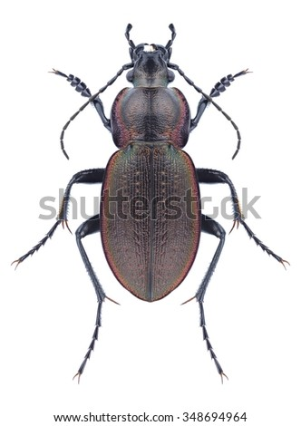 Beetle Carabus stscheglowi on a white background - stock photo