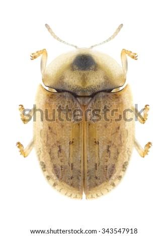 Beetle Cassida nebulosa on a white background - stock photo