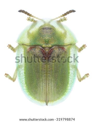 Beetle Cassida stigmatica on a white background - stock photo