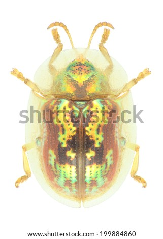 Beetle Cassida subreticulata on a white background - stock photo