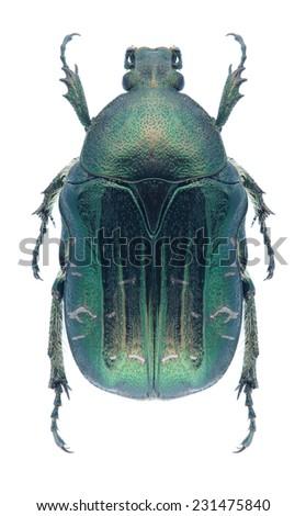 Beetle Cetonia viridiopaca on a white background - stock photo