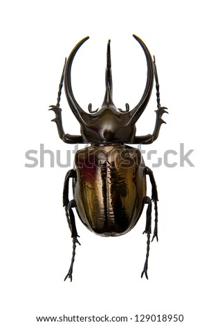 Beetle Chalcosoma Atlas - stock photo