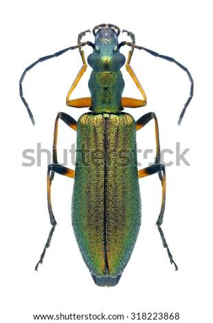 Beetle Chrysanthia flavipes on a white background - stock photo
