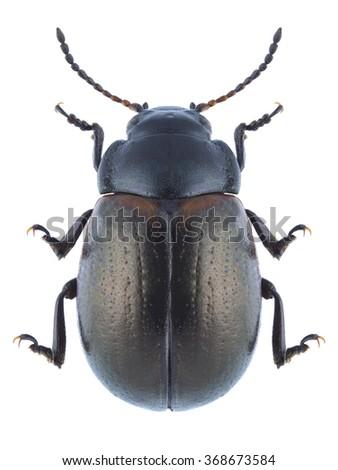 Beetle Chrysolina marginata on a white background - stock photo