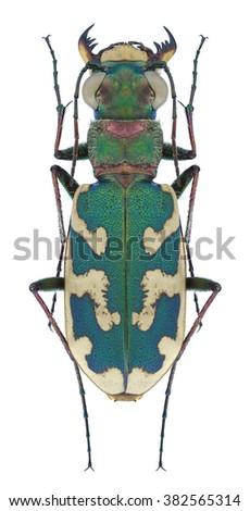 Beetle Cicindela besseri on a white background - stock photo