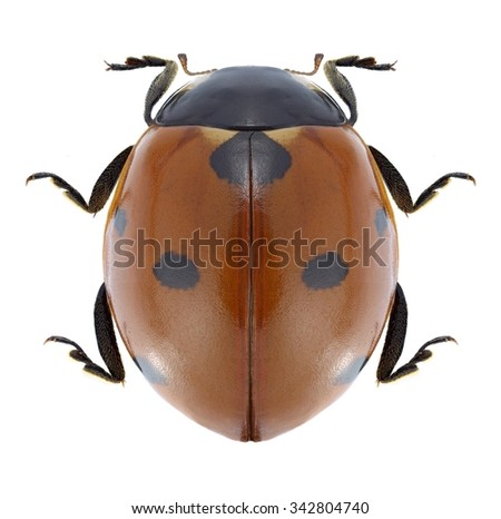 Beetle Coccinella septempunctata on a white background - stock photo