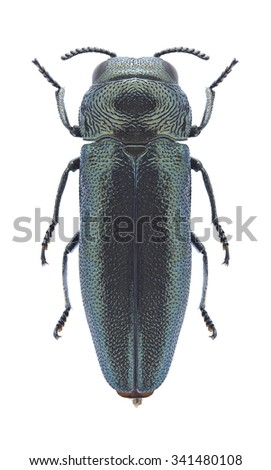 Beetle Coraebus elatus on a white background - stock photo