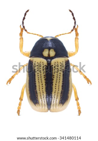 Beetle Cryptocephalus bilineatus on a white background - stock photo