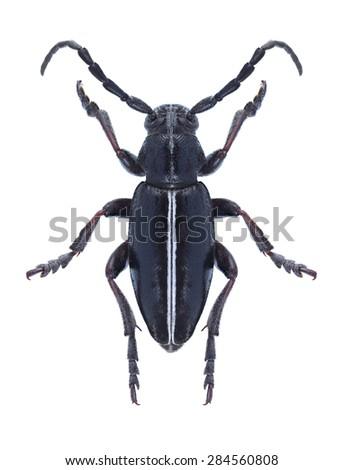 Beetle Dorcadion cinerarium on a white background - stock photo