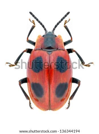 Beetle Endomychus coccineus on a white background - stock photo