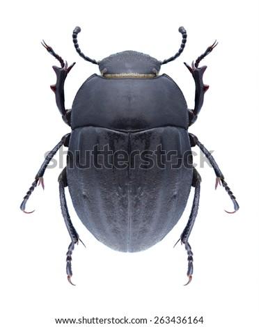 Beetle Erodius dejeani on a white background - stock photo