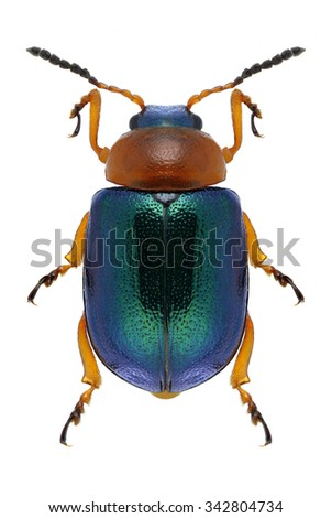 Beetle Gastrophysa polygoni on a white background - stock photo