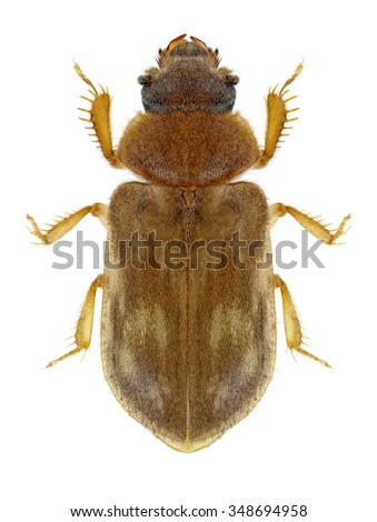 Beetle Heterocerus fenestratus on a white background - stock photo