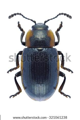 Beetle Hydrothassa marginella on a white background - stock photo