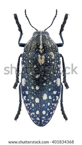 Beetle Julodis humeralis on a white background - stock photo