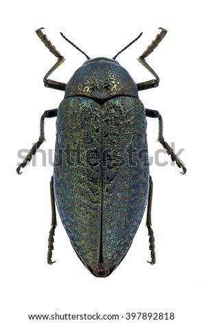 Beetle Julodis witchillii on a white background - stock photo
