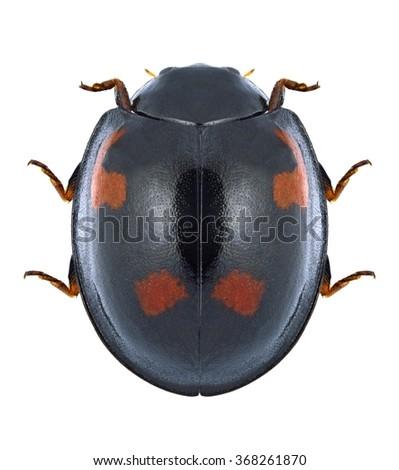 Beetle Ladybird Exochomus quadripustulatus on a white background - stock photo