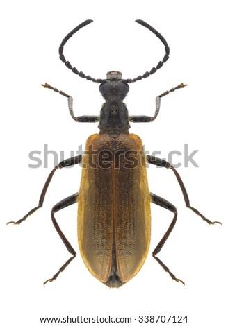 Beetle Lagria hirta on a white background - stock photo