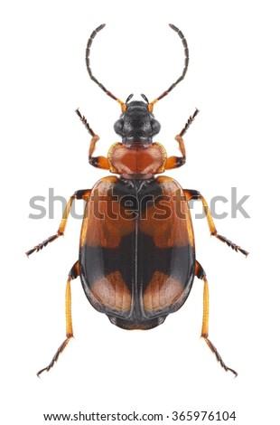 Beetle Lebia cruxminor on a white background - stock photo