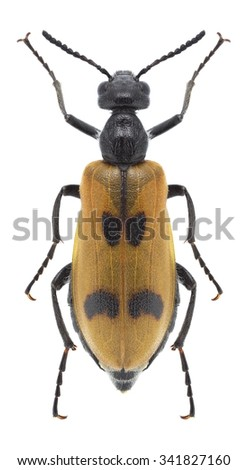 Beetle Lydus trimaculatus on a white background - stock photo