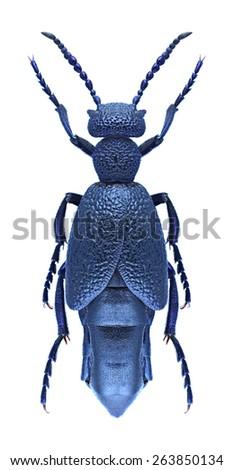 Beetle Meloe proscarabaeus on a white background - stock photo