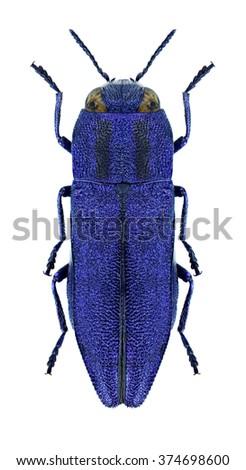 Beetle metallic wood borer Anthaxia violacea on a white background - stock photo
